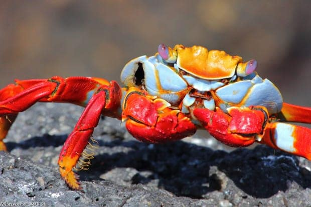 Colorful crab seen on a land tour from a small ship cruise in the Galapagos.
