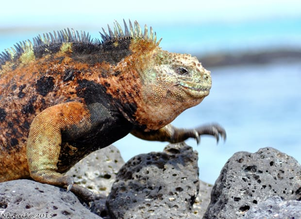 Iguana climbing on rocks in the Galapagos seen from a land tour from a small ship cruise.