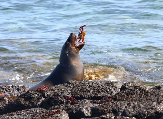 Sea lion eating a grab seen on a land tour from a small ship cruise in the Galapagos.