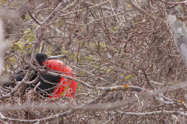 Frigate bird seen in the trees on a land tour from a small ship Galapagos cruise.
