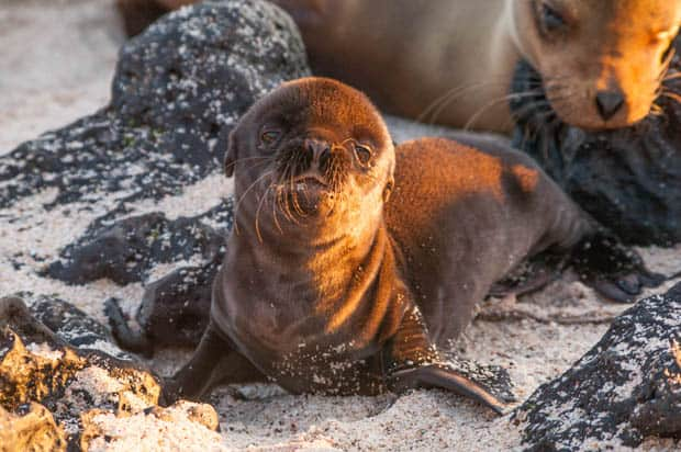 Baby sea lion on the beach in the Galapagos seen on a land tour.