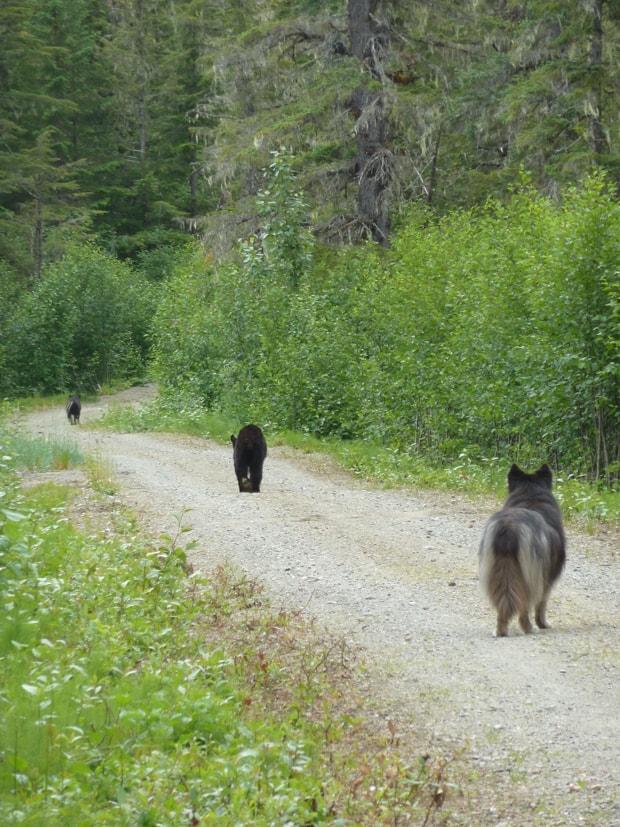 2 small bears walking with a dog behind in Gustavus, Alaska.