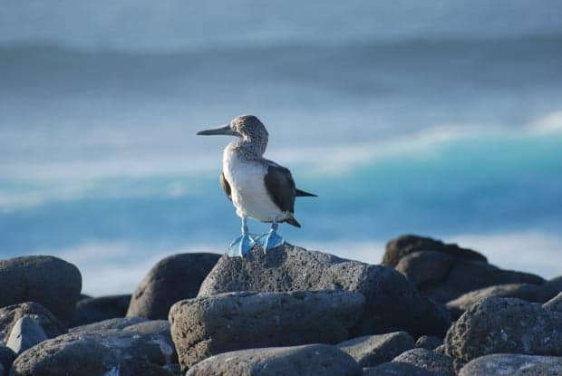 Blue footed booby bird on rocks in the Galapagos.