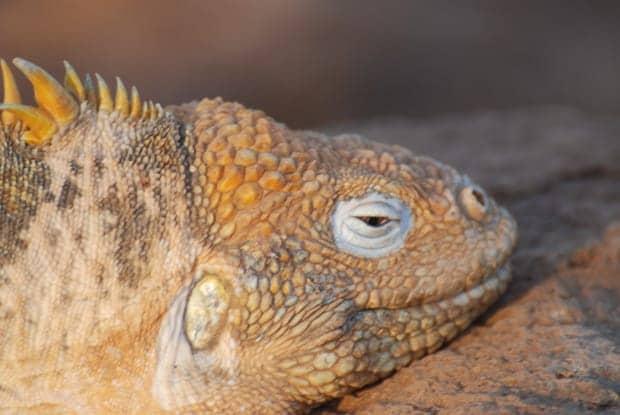 Up close golden iguana in the Galapagos.