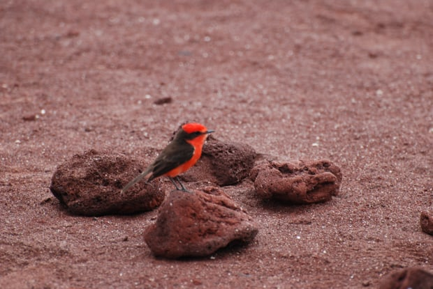 Red and black finch bird in the Galapagos.