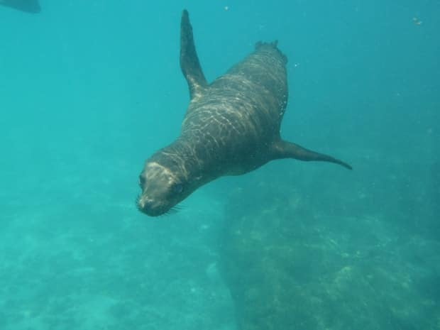 Sea lion swimming underwater in the Galapagos.