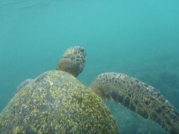 Turtle swimming underwater in the Galapagos.