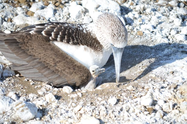 Blue footed booby nesting with chick on the beach in the Galapagos.