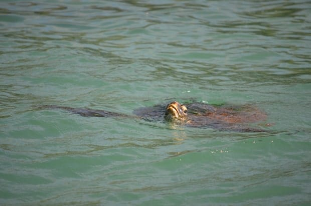 Turtle poking its head out of the water in the Galapagos.