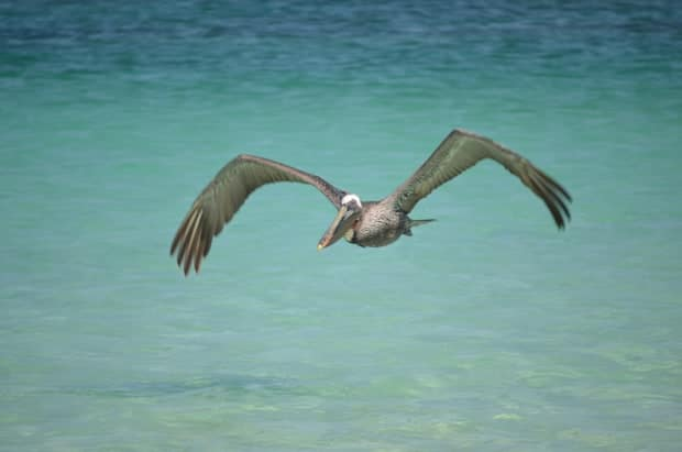 Bird flying above the clear blue waters in the Galapagos.