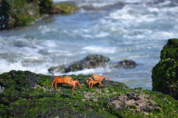 Two red orange crabs on a rock seen in the Galapagos.
