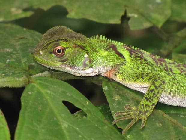 small green lizard walking on broad leaves in the Amazon.