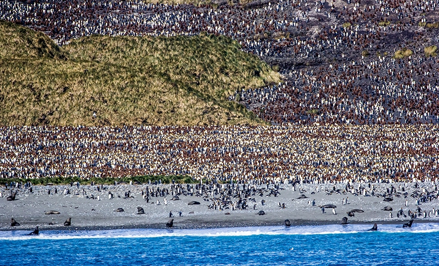 Distance view of the South Georgia penguin creche showing thousands of king penguins from a distance.